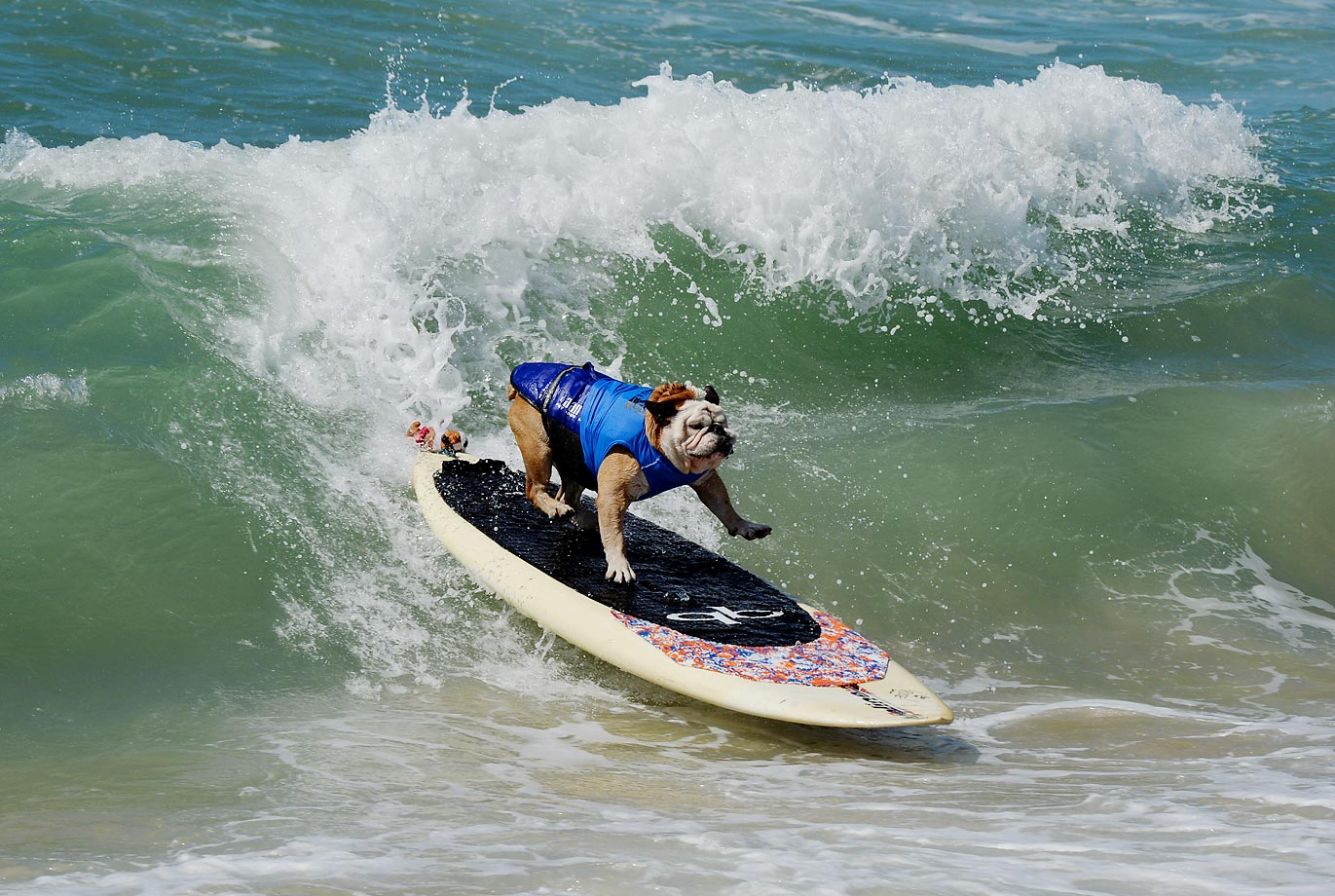 Tillman the Bulldog rides a wave during the Surf City Surf Dog competition in Huntington Beach.