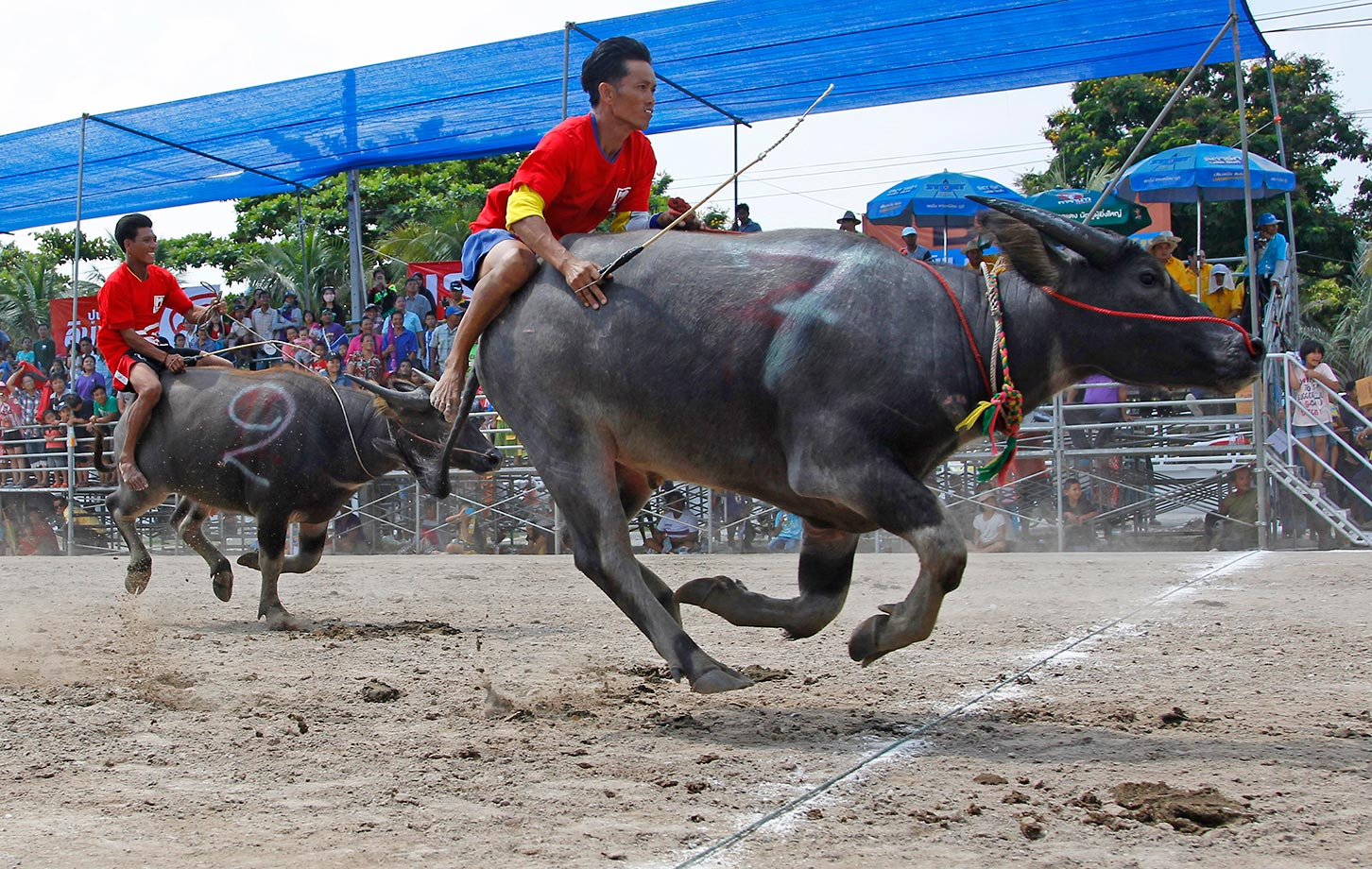 Thai jockeys competing in the water buffalo race in Chonburi Province south of Bangkok.