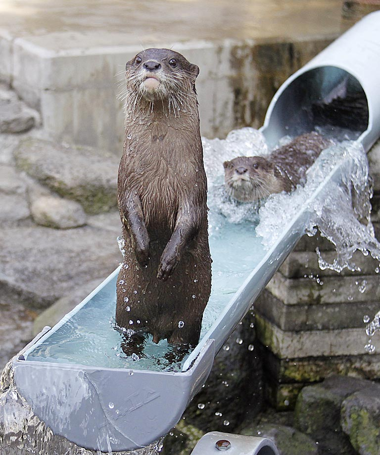 A river otter enjoys some summer fun at Ichikawa Zoological and Botanical Garden in Ichikawa, east of Tokyo.