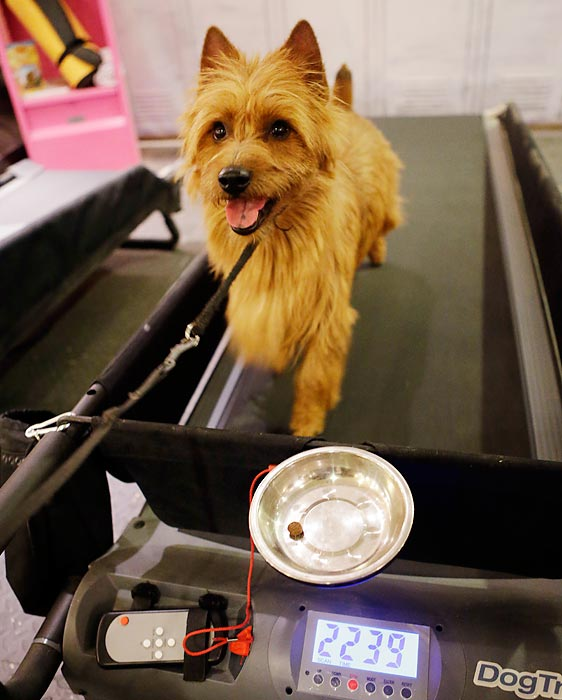 Mac, an Australian Terrier, runs on a treadmill in a dog spa inside the Hotel Pennsylvania, located across the street from Madison Square Garden, home to the Westminster Dog Show. The dog show, held by the Westminster Kennel Club, runs Monday and Tuesday.