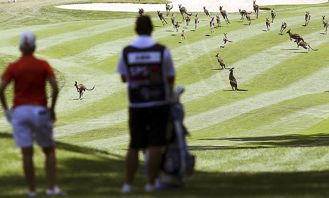 Where's Carl Spackler when you need him? Duffers were reportedly hopping mad about the flock (gaggle? herd?) of kangaroos on the fairway at Royal Canberra Golf Club.