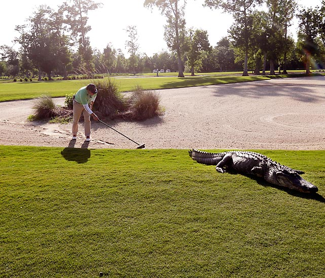 In an attempt to inject more excitement into an otherwise sleepy sport, the PGA Tour has introduced live man-eating alligators to selected courses. Here a worker covers the remains of a rather unfortunate duffer in the sand trap on the 14th hole in Avondale, La. Attendance and TV ratings are expected to soar.