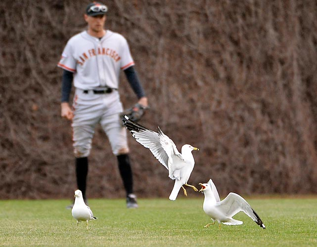 Seagulls challenge each other as right fielder Hunter Pence of the San Francisco Giants awaits action at Wrigley Field.