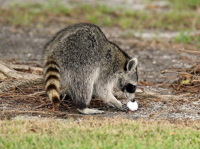 An inquisitive racoon inspects a golf ball at the Doral Golf Resort & Spa in Miami.