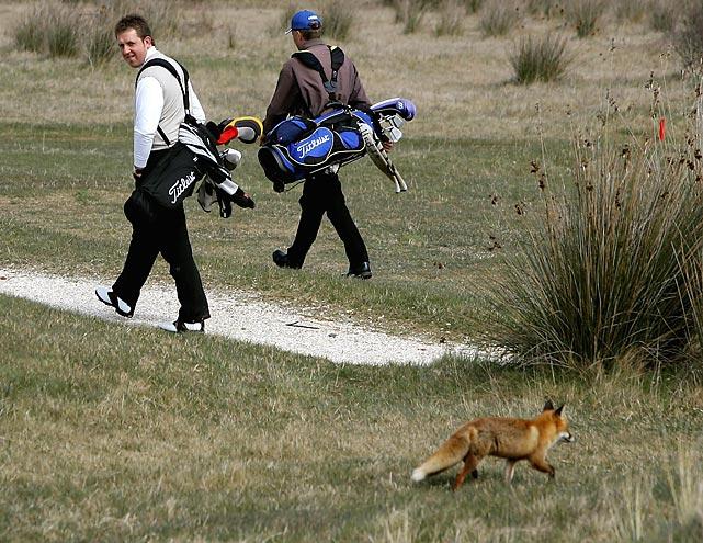 A golfer glances at a fox in Saunton, England.