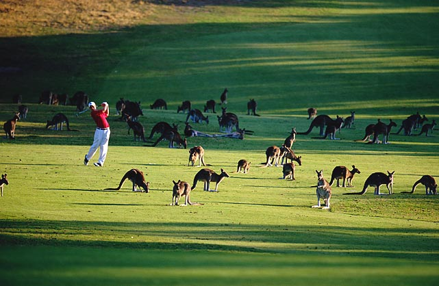 Scott Saunders, surrounded by Kangaroos, at the Angelsea golf club.
