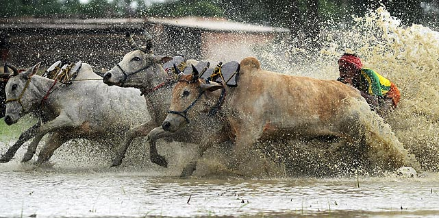 Indian farmers compete in a bull race at a paddy field in Altekhali village in the belief that racing before plowing their fields will bring good rain and a better harvest.