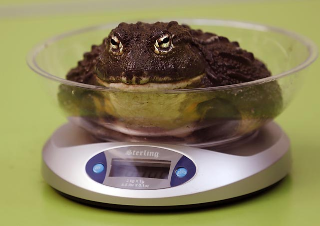 At the annual weigh-in at London Zoo, this critter came up at 14.1 ounces ahead of his bout with Floyd Mayweather, Jr.