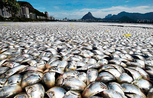 Eighty-six tons of dead catfish, sea bass, yellowtail and tilapia choked the Rodrigo de Freitas lagoon in Rio de Janeiro -- site of the 2016 Olympic rowing competition -- after pollution depleted the water's oxygen level.