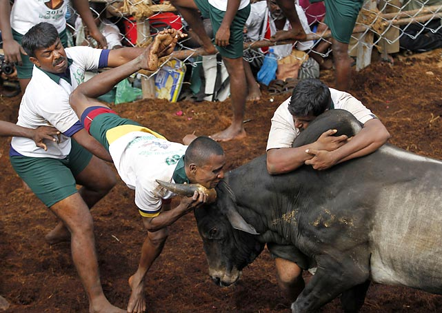 One brave soul takes the bull by the horns while another tries to get over the hump in Alanganallor, India. For your information, <italics>Jallikattu</italics> is an ancient, heroic (some rational individuals might question the use of that word) taming sport that the Tamils play during the harvest festival of Pongal.