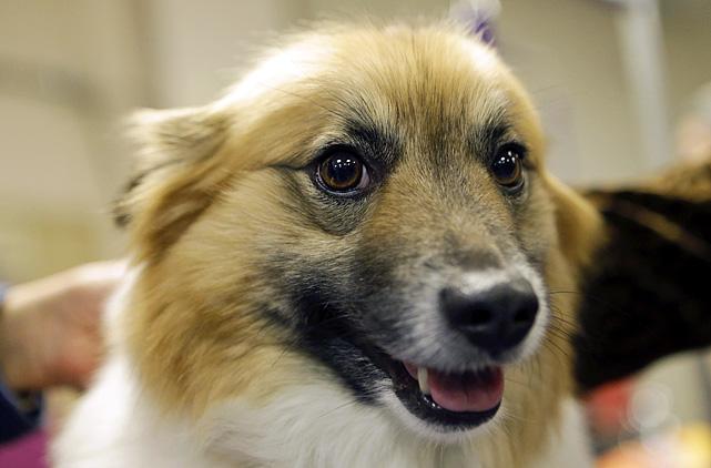 Icelandic Sheepdog Westminster 138th Westminster Dog ...