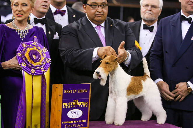A wire fox terrier has won 14 times at the nation's top dog show. No other breed has won more than eight times.