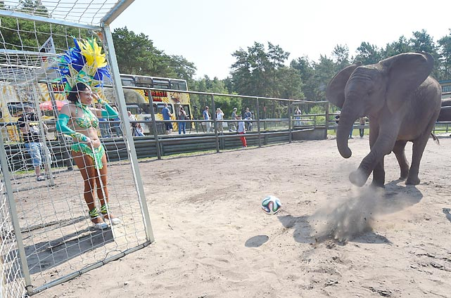 The World Cup is comin' up and if you're not sure which teams deserve a wager of your hard-earned doubloons, perhaps Nelly can help you decide. The prognosticatin' pachyderm boasts an 87.5 percent accuracy rate in forecasting the outcome of matches by playing them in advance. Here, Nelly booted the ball into the German goal at Serengeti Park in Hodenhagen, thus almost guaranteeing a victory for Portugal in its World Cup game against vs. Germany on June 16.