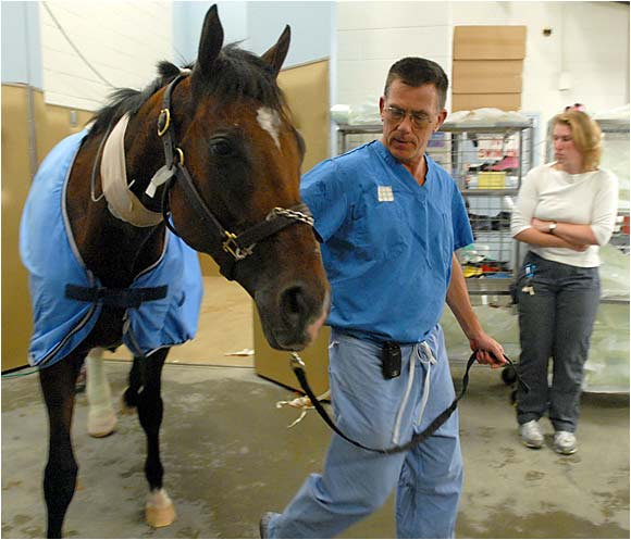 """Barbaro """"practically jogged back to the stall"""" after surgery, said the colt's surgeon."""