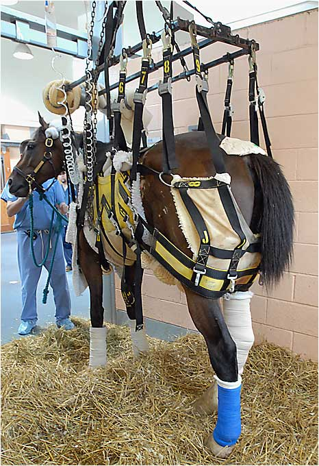 "Barbaro, seen here with casts over both hind legs, was said to be fighting for his life due to laminitis on Thursday. Dr. Dean Richardson deemed his chances of survival ""poor."""