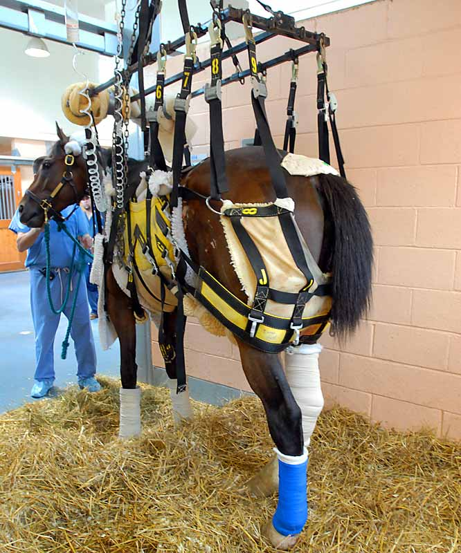 "Barbaro, seen here with casts over both hind legs, was said to be fighting for his life due to laminitis back in July. At the time, Dr. Dean Richardson deemed his chances of survival ""poor."""
