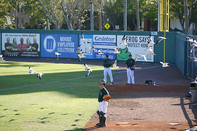 A flock of seagulls decide to get a closer view of the Devil Rays game against the Indians.