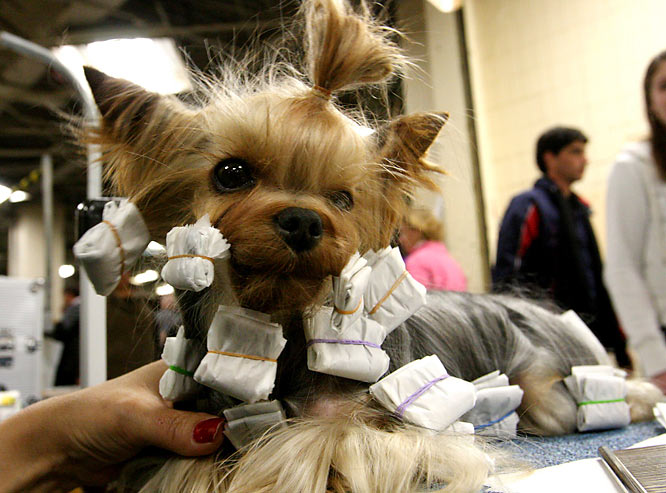 K.J., a Yorkshire terrier from Dallas, sits in the benching area after competing.