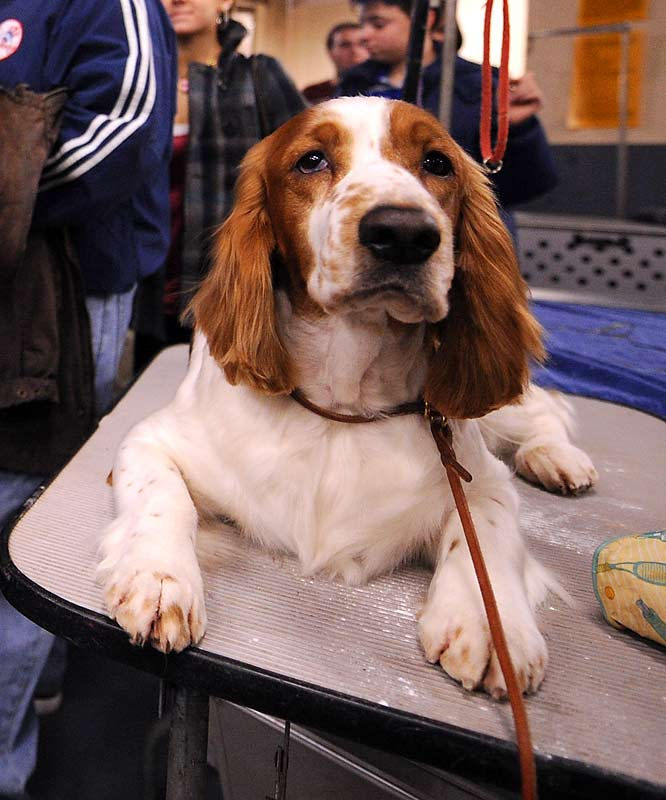 Melody waits to be groomed backstage before competing in the sporting group.