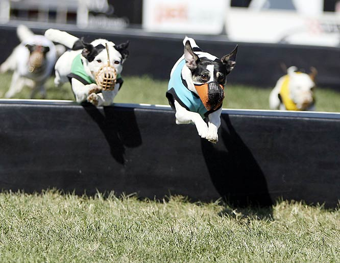 Jack Russell terriers in the hurdle race.