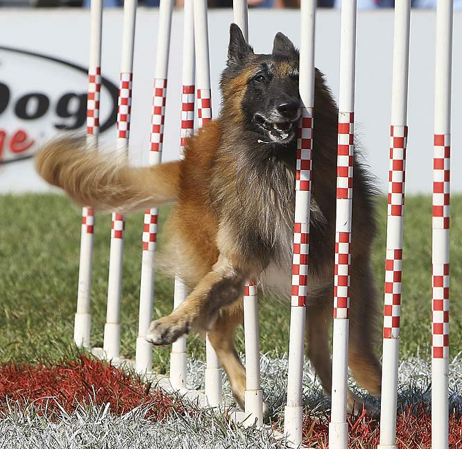 Maxxwell, from Mansfield, Texas, in the large dog agility race.