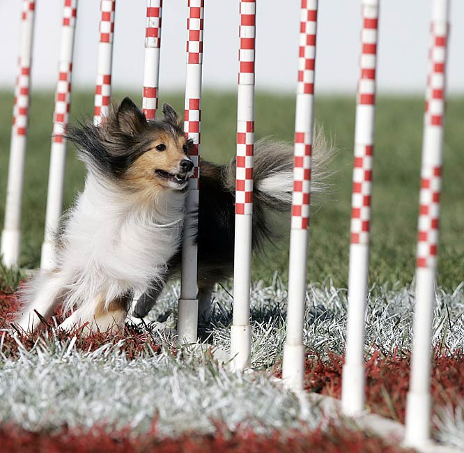 Dee Anna Gamel's dog Kelsi in the small dog agility race.