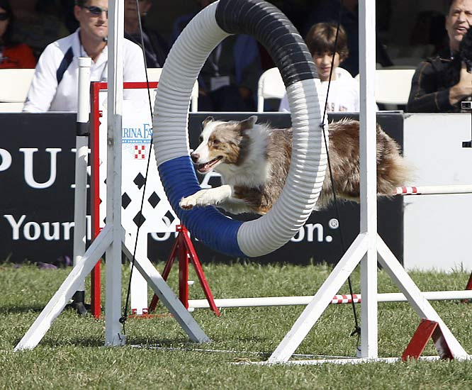 Scenes from the recent Incredible Dog Challenge national championships, held at Purina Farms in Gray Summit, Mo.