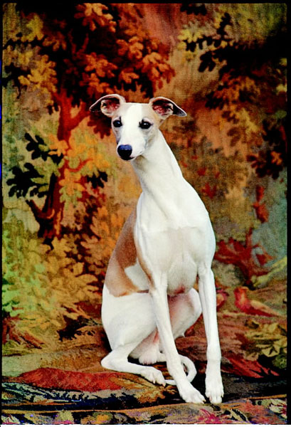 """This dog was lucky enough in 1964 to be chosen Best in Show at the Westminster Kennel Club Dog Show in New York City. This fawn-and-white whippet, Ch. Courtenay Fleetfoot of Pennyworth (a.k.a. """"Ricky""""), was a superstar from Great Britain, and remains the only member of its breed to ever take Top Dog honors at Westminster."""