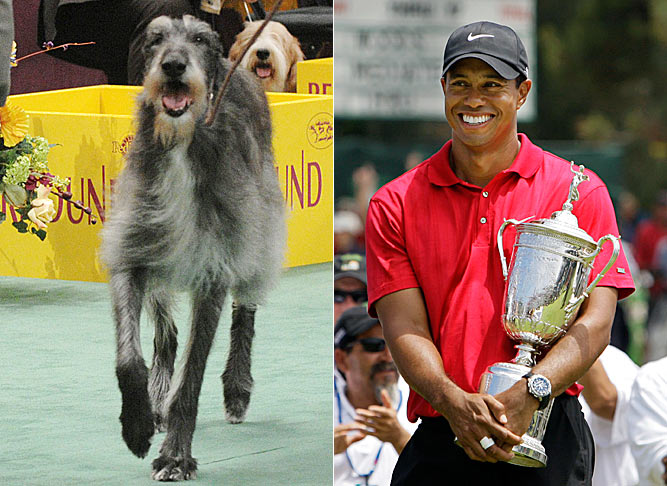 This Scottish Deerhound is named Tiger Woods. So Tiger, meet Tiger.