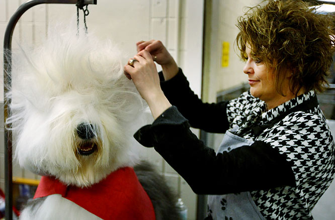 Before trotting in front of the judges, Iggy gets groomed.