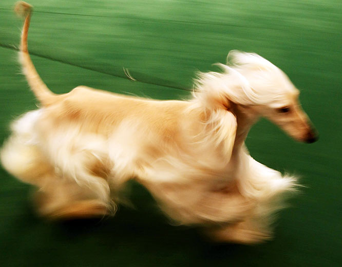 An Afghan Hound sprints in front of the judges at Madison Square Garden.