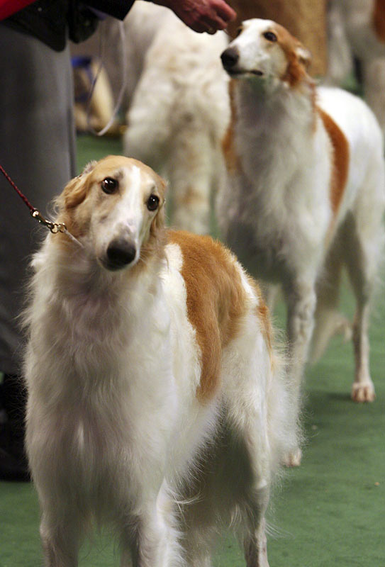 Borzoi hounds originated in Russia and can weigh more than 100 pounds.