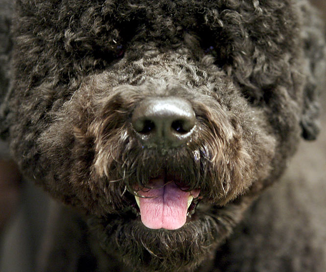 The Portuguese water dog was reportedly one of the top contenders for President Obama's dog.