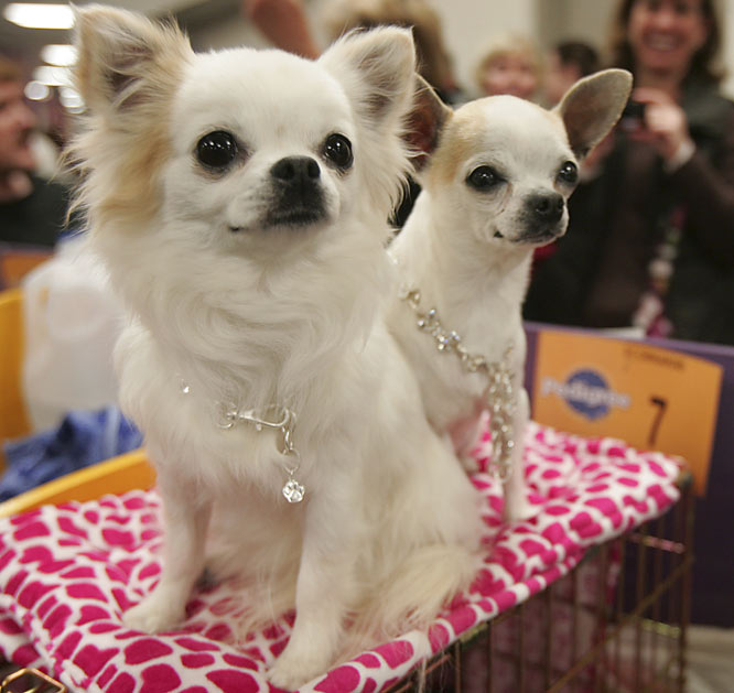 Joi, a long coat chihuahua, and Tarra, a smooth coat chihuahua, enjoy a little down time backstage before going out in the spotlight.