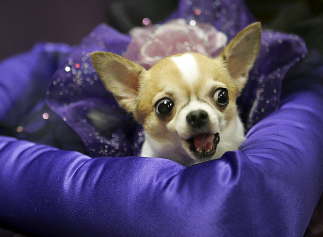 Looking prim and proper, Willow hoped to become the first Chihuahua to win the big prize.
