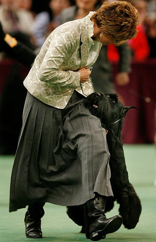 In her third Westminster showing, Spirit won the working group to advance to the Best In Show competition.