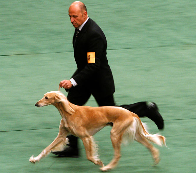 Ch Excelsior Yosef Areli reigned atop his breed, which is a member of the hound group.