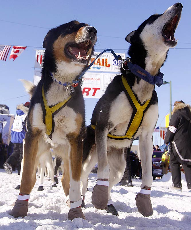 It's a dog party in Alaska. More than 1,000 dogs and 67 mushers turned out at the annual Iditarod Trail Sled Dog Race. The competitors will traverse through more than 1,100 miles of deep snow with the hopes of winning the $610,000 purse. Last year, Lance Mackey won his second title. Who will be crowned this year's champion?