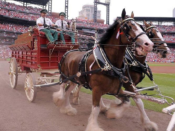 Budweiser's Clydesdales were part of the pregame ceremonies at Busch Stadium.