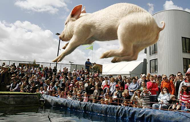 If pigs can't quite fly, they can dive -- gracefully, we might add -- and there are competitions to prove it, such as this one at the Royal Melbourne Show in Australia.