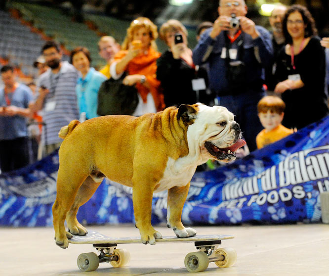 Tillman the skateboarding bulldog performs during the Lone Star Pet Supply Show at Freeman Coliseum on Friday, Oct. 23, in San Antonio. He owns the Guinness World Record for being the world's fastest skateboarding dog. Tillman was named after NFL player Pat Tillman, who left football to join the army and died in Afghanistan.