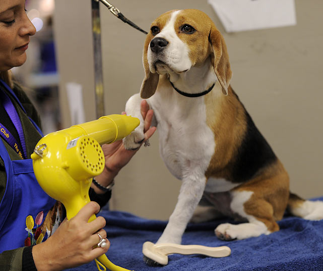 A Beagle is groomed during the first day.