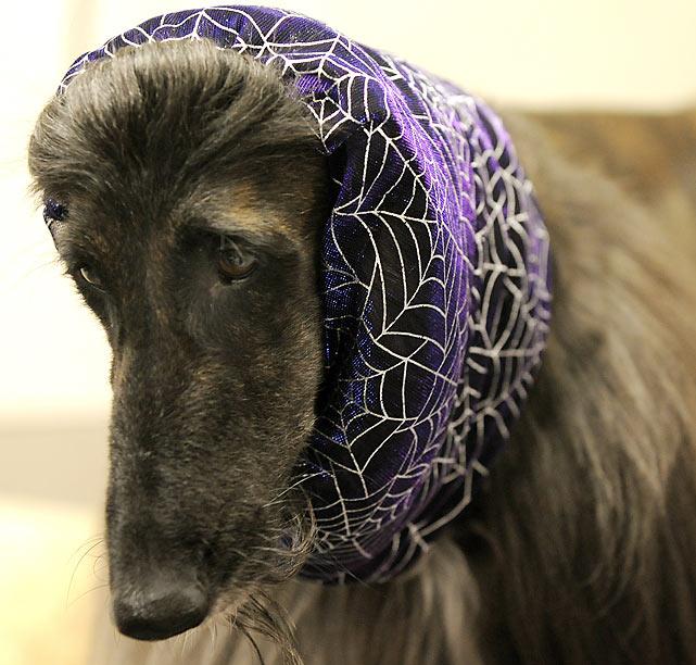 Keefer, an Afghan Hound.