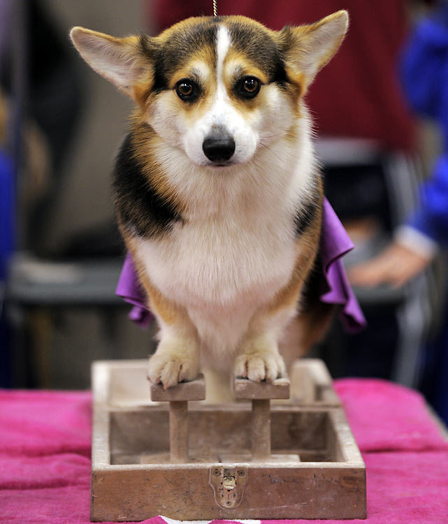 A Corgi is groomed  during the first day.
