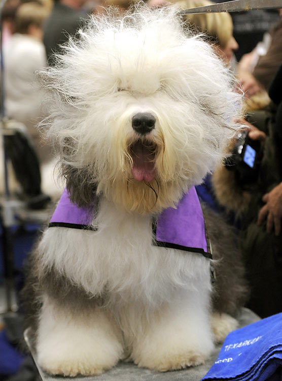 An Old English Sheepdog sits backstage.