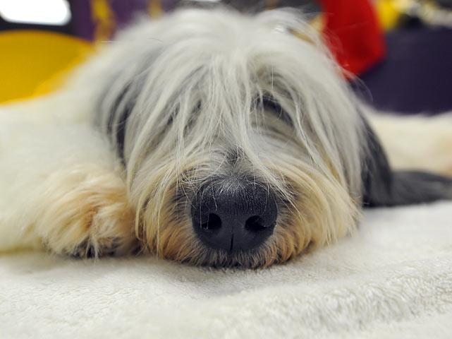 A Polish Lowland Sheepdog rests backstage.