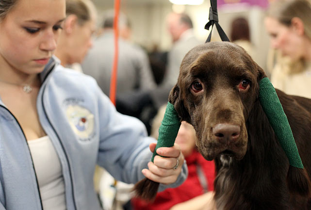 Field Spaniel Champion Nautica's Got Game, also known as Spencer, preparing for the Junior Showmanship Finals.