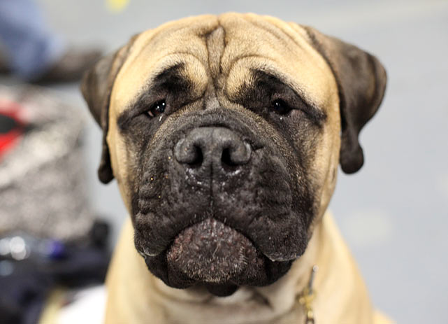 Bullmastiff Champion Bandog's Brutus II Of Raven, from Long Island, in the Ready Room.