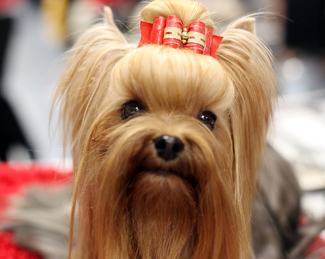 Yorkshire Terrier Champion Groveshire's New Sensation, also known as Morgan, from Newfoundland, Canada.