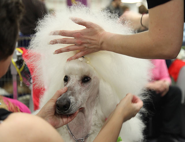 Standard Poodle Champion Tuelz Temptation CD from Pennsylvania gets groomed for Best of Breed Competition.